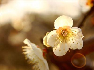白梅 早春