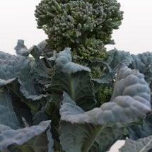 ブロッコリー栽培に挑…