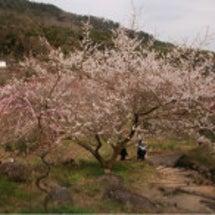 谷尾崎梅林公園。