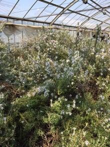 3月2日ローズマリーが一杯の花