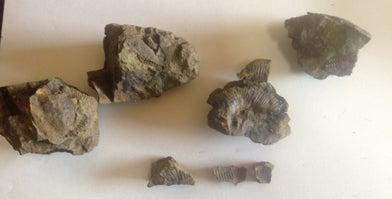 私が見つけた化石