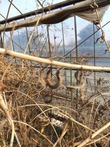 3月4日レモンバーベナの刈れ葉
