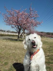 河津桜です。