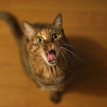 扉を開けちゃう猫