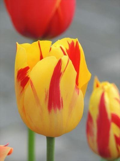 きれいなチューリップ 春