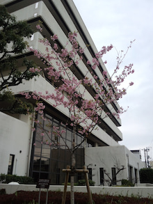 佐伯区役所のカワヅザクラ