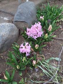 3月11日ピンクのヒヤシンス