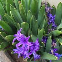 青いヒヤシンスの花