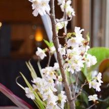 いち早く桜