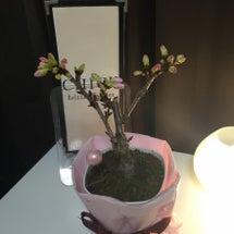 春は桜と新人セラピス…