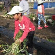 桜島大根収穫