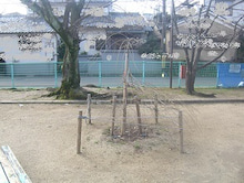 「三春滝桜」の子孫樹、メンテナンス。1
