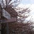** 横浜の桜開花は…