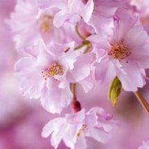 桜の季節来ましたね(…