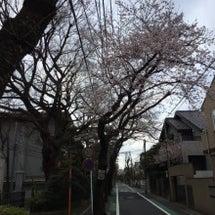 成城学園横 桜