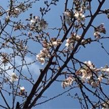 トシヨロイヅカ 桜の…