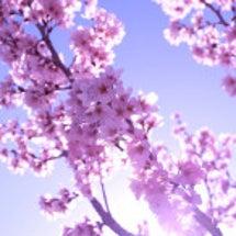 彼岸桜の花言葉は..…
