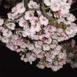 桜が咲き始めました~…