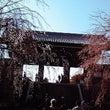 「東郷寺」枝垂桜20…
