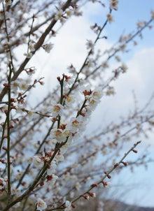梅の花が満開。