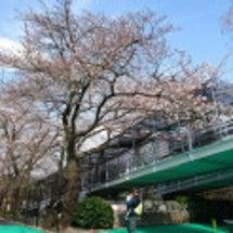 3/27 桜3分咲き…