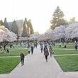 一足早く桜が満開にな…