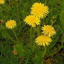 野草の薬理作用