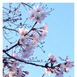 早咲き桜でお花見♡