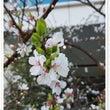 春の東京 つくしと桜…