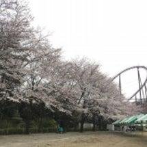 3/30 桜開花状況