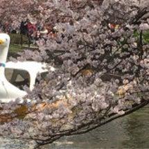 桜の季節ですね〜