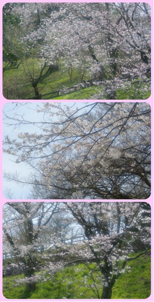 桜(ソフト)