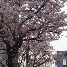亀有も桜満開!