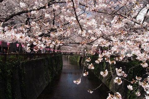 中目黒の桜 お花見情報