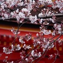 2016年 京都 桜…