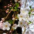 ★絶景★東京の桜が満…