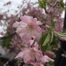 桜の木の下で〜