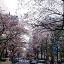 日本橋の桜 満開まで…