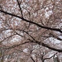 4月桜が綺麗