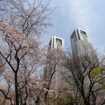 桜咲く、都庁の裏に行…