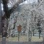 身延山の枝垂れ桜は爛…
