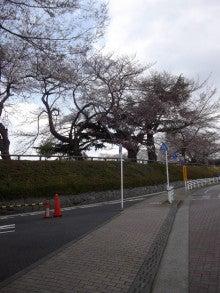 160327ムサリク桜2