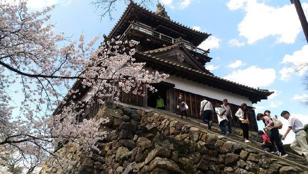 丸岡城と満開の桜