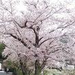 桜・ゆきやなぎまつり