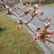 桜の蕾が膨らみ始めた…
