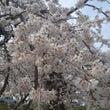 ハナビラノマイ 「桜…