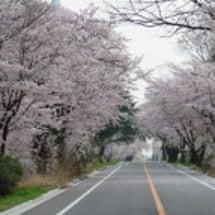 桜の春本番