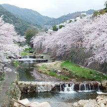 兵庫 芦屋川の桜