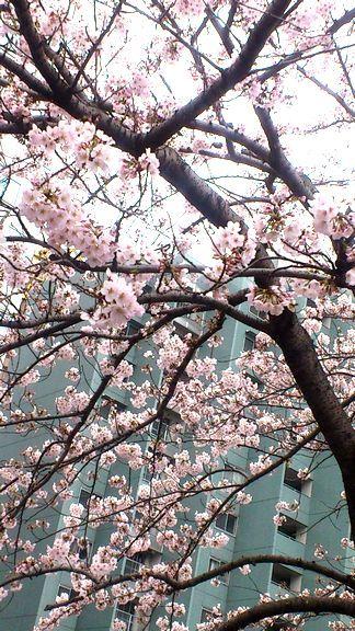 桜 えいり