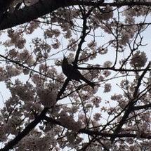 ひよどり、桜の中であ…
